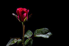 Red rose with water drops Stock Photos