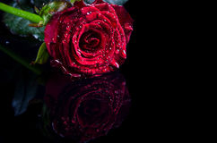 Red rose with water drops on a black background, free space for Stock Photography