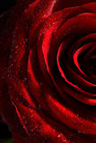 Red rose with water drops close up royalty free stock photos