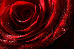 Red rose with water drops close up Royalty Free Stock Photography