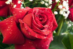 Red rose with water drops Stock Photo