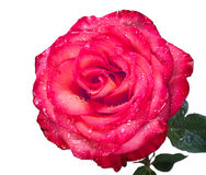 Red rose with water drops isolated Royalty Free Stock Photo