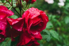 Red rose with water drops on petals.  stock photography