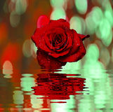 Red rose with water drops Royalty Free Stock Image