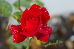 Red rose with water drops. On it. Summer flowers. After rain, morning dew royalty free stock image