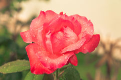 Red rose with water drops. Stock Image