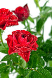 Red rose with water drops Royalty Free Stock Images