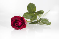 Red rose. With water drops and white background royalty free stock photo