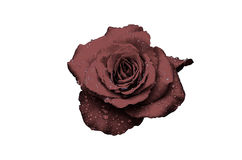Red rose with water drops Stock Photography