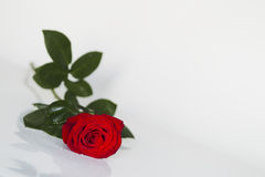 Red rose with water drops on a white background Royalty Free Stock Photos