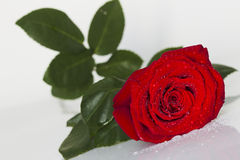Red rose with water drops on a white background Stock Images