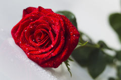 Red rose with water drops on a white background Stock Photos