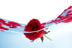 Red rose in water Royalty Free Stock Photo