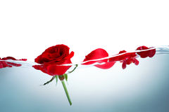Red rose in water Royalty Free Stock Photos