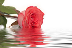 Red rose water reflection white Royalty Free Stock Image