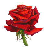 Red Rose Watercolor vector illustration