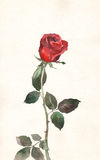 Red rose watercolor painting Royalty Free Stock Photography
