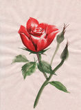 Red rose watercolor painting Royalty Free Stock Images