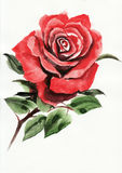 Red rose watercolor painting Royalty Free Stock Photo