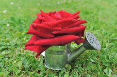 Red rose in watering can Royalty Free Stock Image