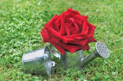 Red rose in watering can Royalty Free Stock Photos