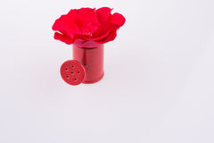 Red rose in a watering can Royalty Free Stock Photo