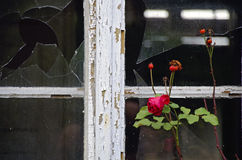 Red rose and weather-beaten wooden window Stock Images