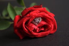 Red rose with wedding ring isolated on black background. Royalty Free Stock Images