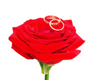 Red rose with a wedding rings Stock Images