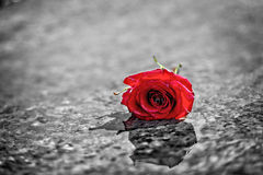 Red rose on the wet marble floor. Royalty Free Stock Photo