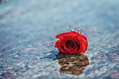 Red rose on the wet marble floor. Stock Photography