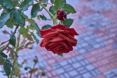 A rose in the street Andrés Segovia of the village the horseshoe royalty free stock images