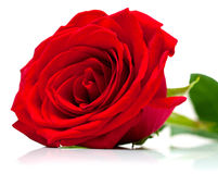 Red rose on white Stock Photography