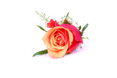 Red rose on white stock photos