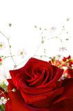 Red rose on the white Stock Image
