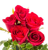 Red rose on white. Royalty Free Stock Image