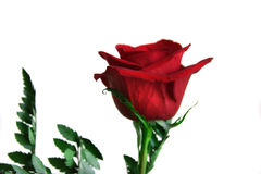 Red rose on white Royalty Free Stock Photography