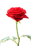 Red rose on white. Royalty Free Stock Images