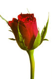 Red rose on white stock image