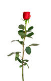 Red rose on a white background. Single red rose on a white background Stock Photo