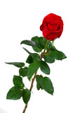 Red rose on a white background Stock Images