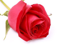 Red rose on white background Royalty Free Stock Photos
