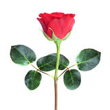 Red rose on white background. Fresh red rose on white background Royalty Free Stock Photo