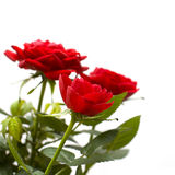 Red rose on white background. Red rose flower on white background Stock Images