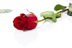 Red rose on white background 2 Stock Photo