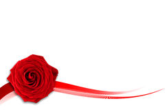Red rose on the white background royalty free stock photography