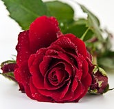 Red Rose on the white background Stock Photography
