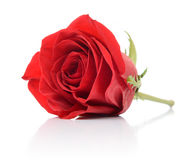 Red rose on white background Royalty Free Stock Photography
