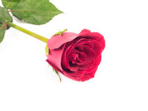 Red rose on white Royalty Free Stock Photos