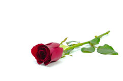 Red rose  on white background Stock Photo